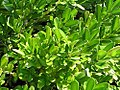 Buxus harlandii 1zz.jpg