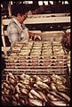 CANNING SARDINES AT THE HOLMES PACKING PLANT IN EASTPORT - NARA - 550316.jpg