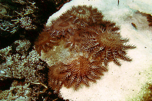 Crown-of-thorns starfish competing to eat the last remaining piece of coral (click to embiggen)