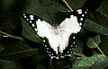 CSIRO ScienceImage 2808 Tailed Emperor Butterfly.jpg