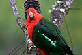 CSIRO ScienceImage 3995 Australian King Parrot.jpg