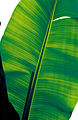 CSIRO ScienceImage 4039 Banana leaf.jpg