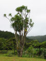 Cabbage tree.jpg