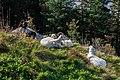 Cabras (Capra aegagrus hircus), montaña Fløyen, Bergen, Noruega, 2019-09-08, DD 35.jpg