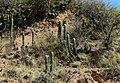 Cactus - panoramio (3).jpg