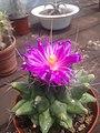 Cactus color rosa.jpg