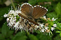 Cacyreus marshalli 01 by-dpc.jpg