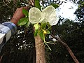 Cadaba trifoliata-1-mundanthurai-tirunelveli-India.jpg