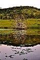 Cae la tarde y el pino desnudo del lago se viste con cientos de garzas esperando la luna. Un lugar en Caraguatay para sentirse parte de la historia. - panoramio (5).jpg
