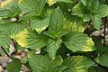 Calamintha grandiflora 'Variegata'.JPG