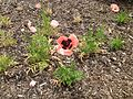 Calgary Papaver Flower at Bank of Bow River 2.JPG
