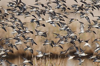 Calidris acuminata group - Hexham Swamp.jpg
