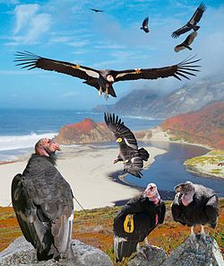 California Condor From The Crossley ID Guide Raptors.jpg