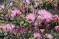 Calliandra chilensis Desierto Florido 2011 sector Quebradita 06.jpg