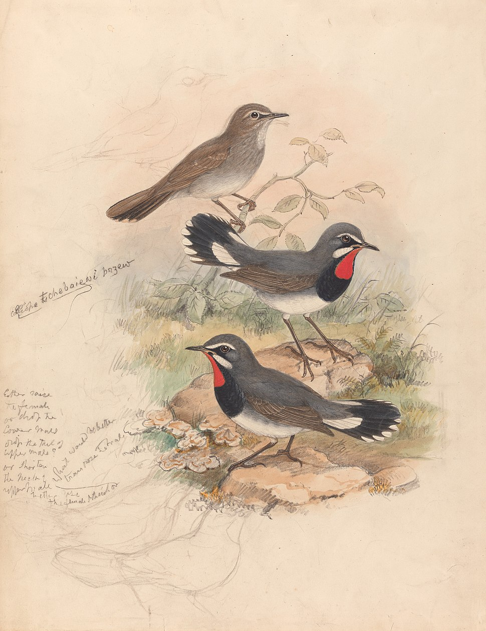 Calliope Tschebaiswi Prjer (Thrush Family) by John Gould