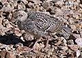 Callipepla gambelii -Tuscon, Arizona, USA -chick-8.jpg