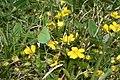 Callophrys rubi, Remoray - img 12590.jpg