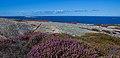 Calluna vulgaris 2.jpg