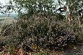 Calluna vulgaris in natural monumentTiské stěny, summer 2014.JPG