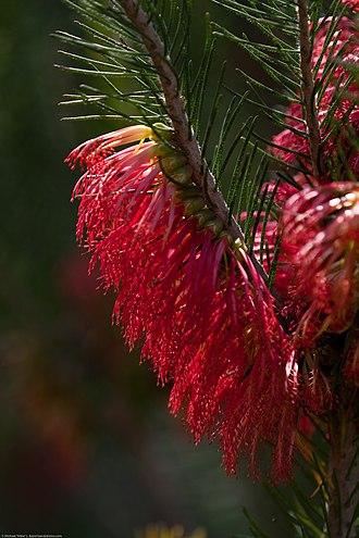 San Luis Obispo Botanical Garden - One-sided Bottlebrush (Calothamnus quadrifidus), native to Southwest Australia.