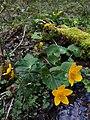 Caltha palustris (26326793010).jpg