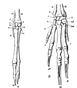 Cambridge Natural History Mammalia Fig 085.png