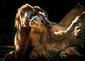 Camel's Love.jpg