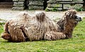 Camel at Blackpool (geograph 2960556).jpg