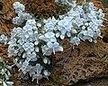 Campanula troegerae.jpg