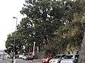Camphor trees of Kitaoka Shrine.jpg