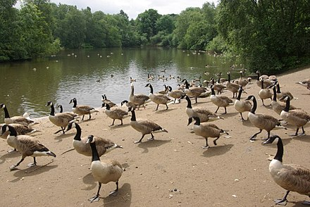 Approaching to beg for food in a Manchester park, a learned behavior Canada Geese, Heaton Park - geograph.org.uk - 490384.jpg