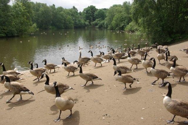 Canada Geese, Heaton Park - geograph.org.uk - 490384