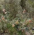 Cancer Bush (Lessertia frutescens) (32732229511).jpg