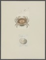 Cancer amoenus - - Print - Iconographia Zoologica - Special Collections University of Amsterdam - UBAINV0274 094 14 0045.tif