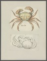 Cancer bispinosus - - Print - Iconographia Zoologica - Special Collections University of Amsterdam - UBAINV0274 094 14 0044.tif
