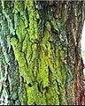Candelaria concolor-6.jpg