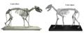 Canis dirus & Canis lupus skeleton.png