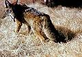 Canis latrans in hay.jpg