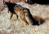 Kojoto Canis latrans