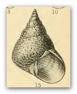 <i>Cantharidus opalus</i> Species of gastropod