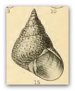 <i>Cantharidus opalus</i> Species of gastropod