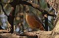 Cape Rock Thrush - female, Monticola rupestris, at Suikerbosrand Nature Reserve, Gauteng, South Africa (14792444236).jpg
