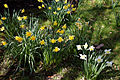 Capel Manor Gardens Enfield London England - Daffodils 01.jpg