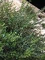 Caper berries in a bush on the Western Wall, Jerusalem.jpg