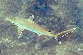 Carcharhinus albimarginatus day reef.jpg