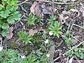 Cardamine glanduligera new leaves - Flickr - peganum.jpg