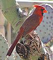 Cardinalis cardinalis L.jpg