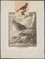 Cardinalis virginianus - 1700-1880 - Print - Iconographia Zoologica - Special Collections University of Amsterdam - UBA01 IZ16000133.tif