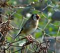 Carduelis carduelis. European Goldfinch - Flickr - gailhampshire.jpg