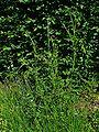 Carduus crispus 001.JPG